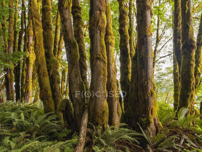 Толстые Мосс, свисающие с деревьев в тропическом лесу возле озера Cowichan, Британская Колумбия, Канада — стоковое фото