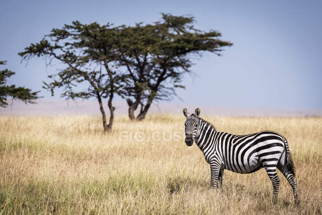Plains zebra standing in grass near tree at wild life — Stock Photo