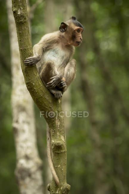 Macaco coda lunga seduta e guardando fuori dall'albero — Foto stock