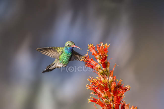 Broad-billed hummingbird vuelo contra un fondo borroso - foto de stock