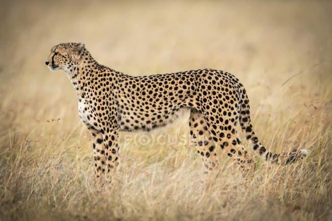 Tiro do foco seletivo da chita majestosa na natureza selvagem — Fotografia de Stock
