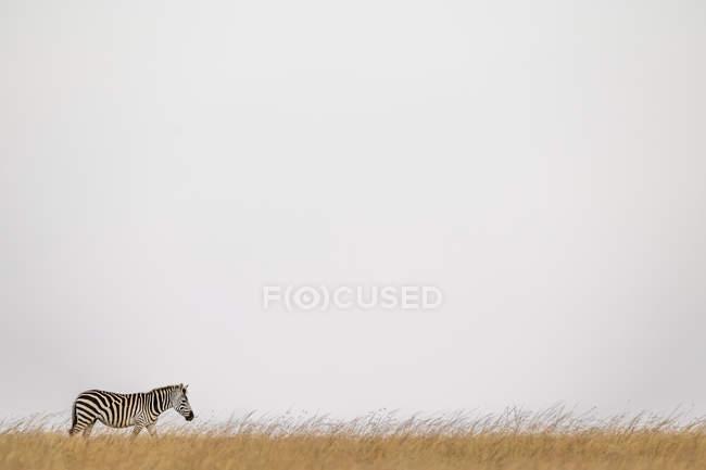 Pianura zebra camminare all'orizzonte in erba a vita selvaggia — Foto stock
