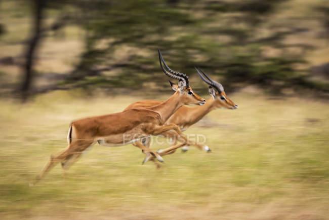 Seitenansicht majestätischer Impalas, die in Bewegung laufen, Unschärfe — Stockfoto