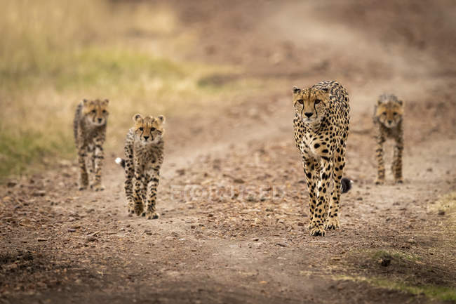 Cute and majestic cheetahs in wild nature — Stock Photo