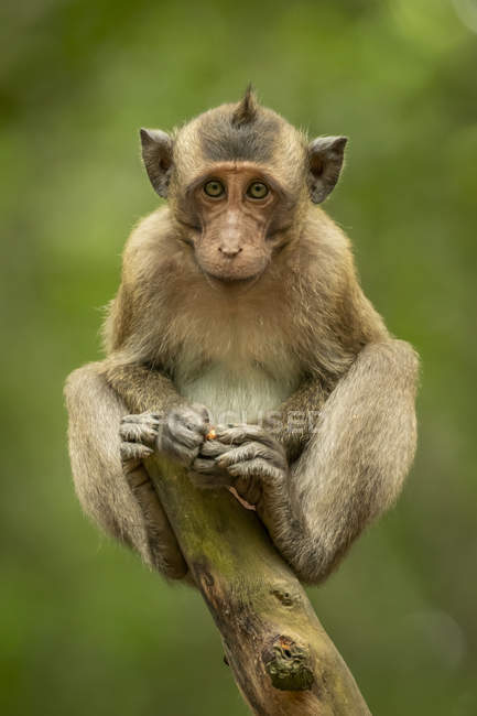 Baby long-tailed macaque on stump facing camera — Stock Photo