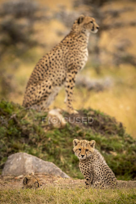 Bonitos e majestosas chitas na natureza selvagem — Fotografia de Stock