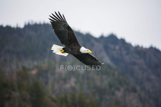 Bald eagle in flight with wings spread in a blue sky — Stock Photo