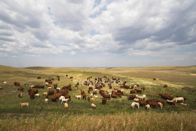 Manada de vacas en el pasto bajo el cielo nublado - foto de stock