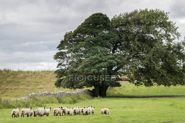 Vue panoramique sur le pâturage des moutons à beau paysage — Photo de stock