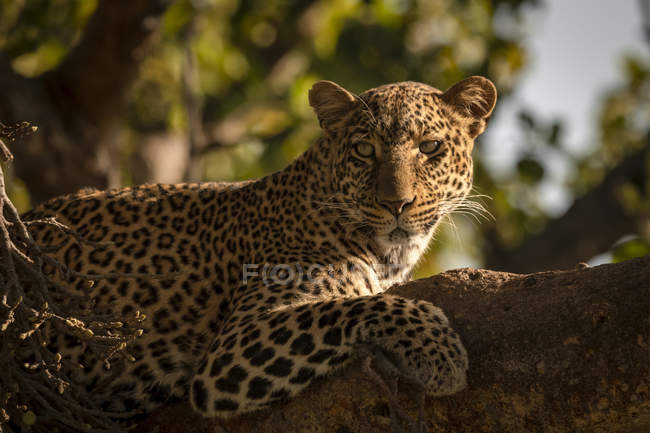 Close-up of leopard on branch with catchlight — Stock Photo