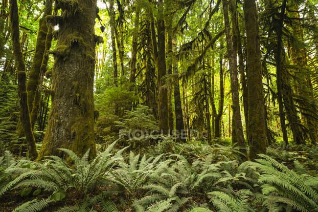 Mousse épaisse suspendue à des arbres dans une forêt tropicale près du lac Cowichan, Colombie-Britannique, Canada — Photo de stock