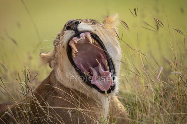 Vista del primo piano del leone maestoso che mostra i denti alla natura selvaggia — Foto stock