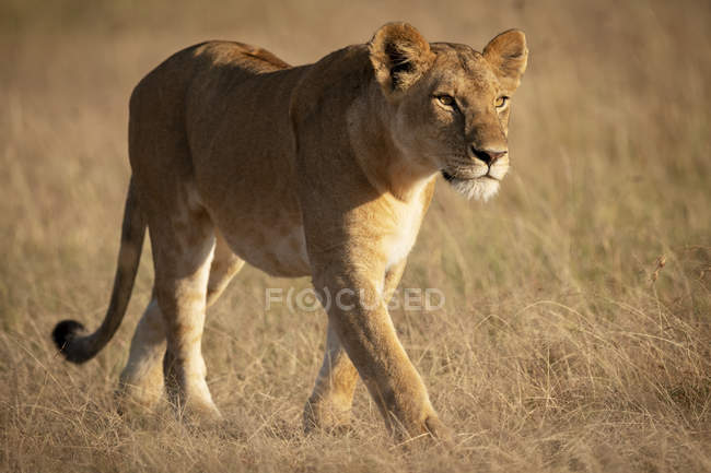 Scenic view of majestic lion in field at wild nature — Stock Photo