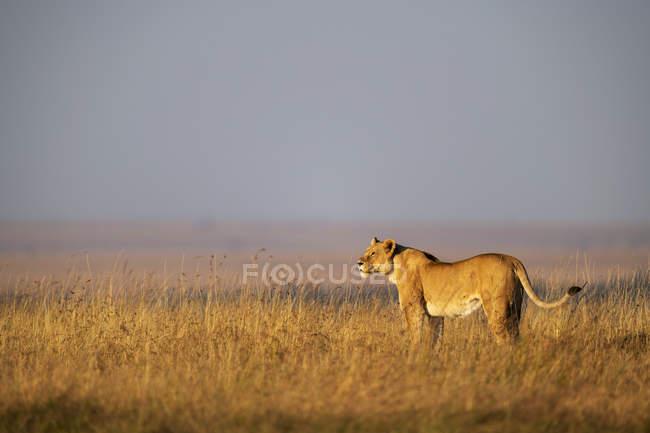 Живописный вид величественного льва в поле в дикой природе — стоковое фото