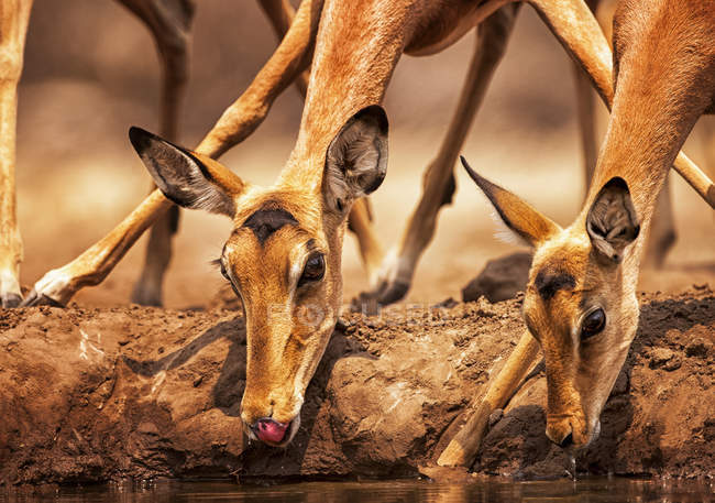 Niedlich schöne Impalas am Tränkplatz in wilder Natur — Stockfoto
