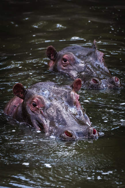 Scenic view of majestic and cute Hippopotamus in wild nature — стоковое фото
