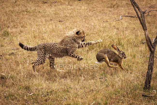 Selective focus shot of majestic cheetah hunting rabbit in wild nature — Stock Photo