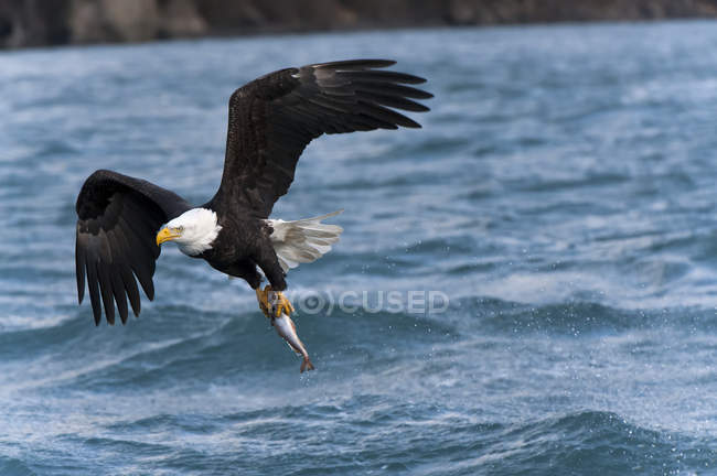 Bald eagle in flight with wings spread with fish over water — стоковое фото