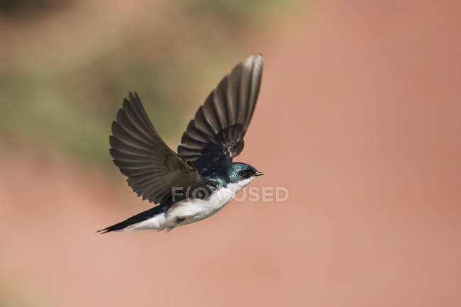 Tree swallow in flight against blurred background — стокове фото