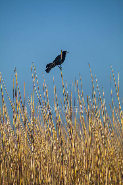 Red-winged blackbird perched on a reed in field — стокове фото