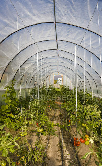 Pomodori e altre verdure che crescono in un recinto per serra in stile hoop house; Palmer, Alaska, Stati Uniti d'America — Foto stock