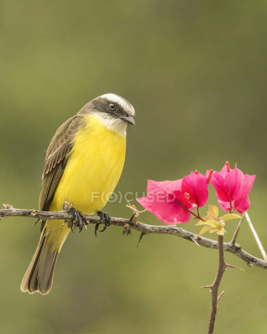 Great kiskadee perched on a tree branch with red foliage — Photo de stock