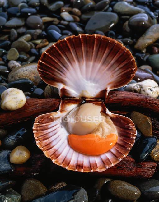 Pétoncles Mollusques et pierres en gros plan — Photo de stock