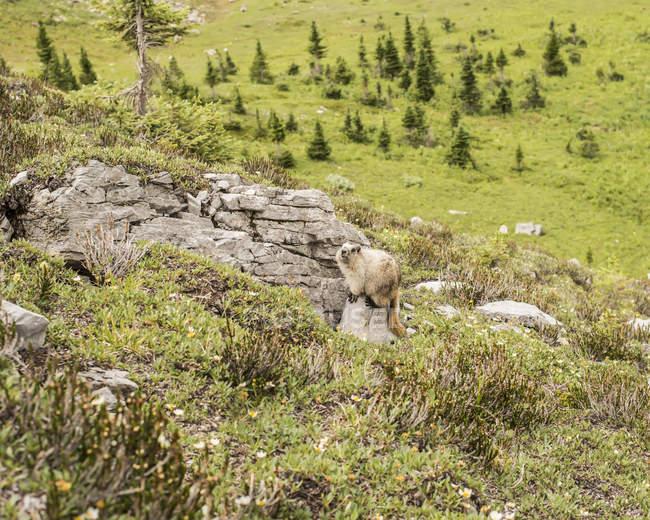 Wildes Murmeltier (Murmeltier) auf einem Felsen entlang des Bändchenseeweges in Kananaskis; alberta, canada — Stockfoto