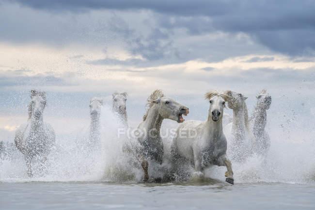 Weiße Pferde der Camargue, die aus dem Wasser laufen, Camargue, Frankreich — Stockfoto