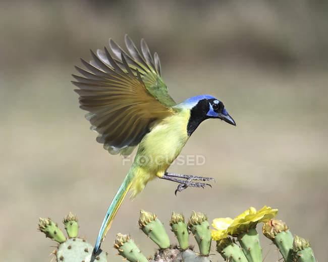 Green Jay aterrizando en una planta de cactus, vista lateral - foto de stock