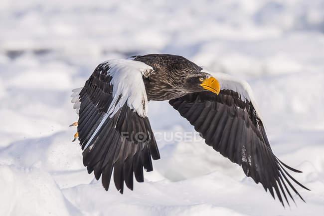 Stellars águila Marina volando en el cielo - foto de stock