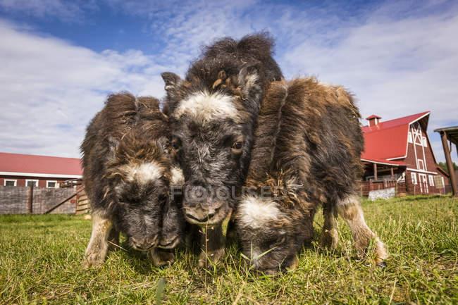 Terneros de buey almizclero nacidos en primavera compiten por la hierba en la granja de bueyes almizcleros, en el centro-sur de Alaska; Palmer, Alaska, Estados Unidos de América - foto de stock