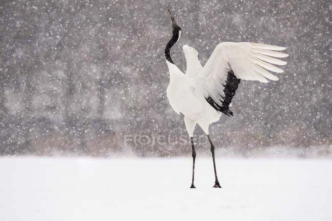 Японский журавль, или Грюс, во время снегопада висит в воздухе, Хокайдо, Япония — стоковое фото