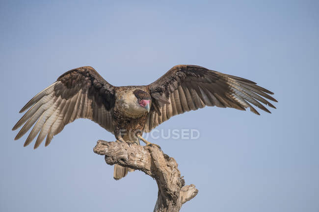 Caracara landing on a dead tree against blue sky — Foto stock