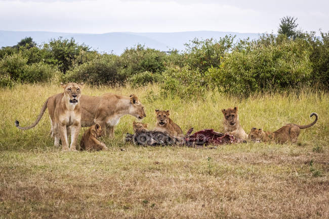 Lionesses guarding five cubs eating wildebeest carcase, Maasai Mara National Reserve; Kenya — Stockfoto