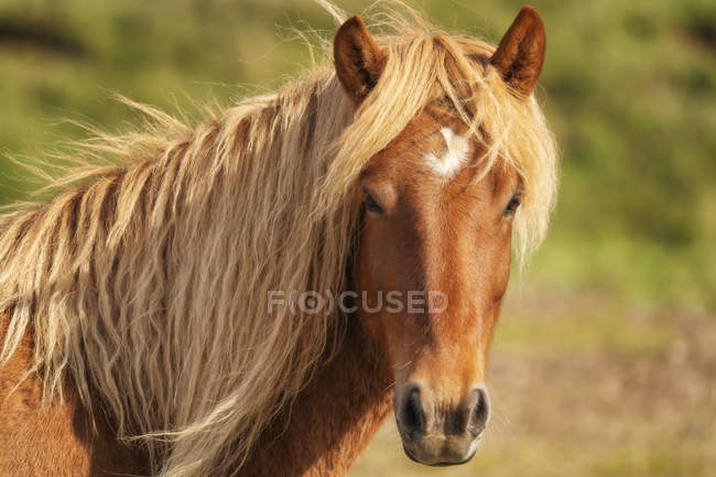 Icelandic horse in the natural landscape, Iceland — Stock Photo