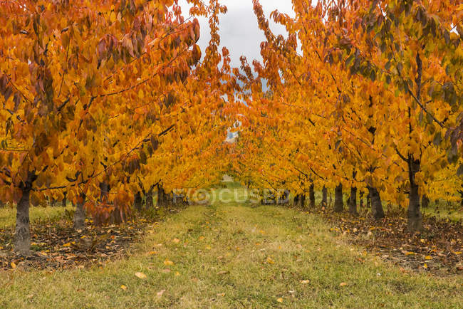 Cherry trees with autumn coloured foliage; Creston, British Columbia, Canada — Stock Photo