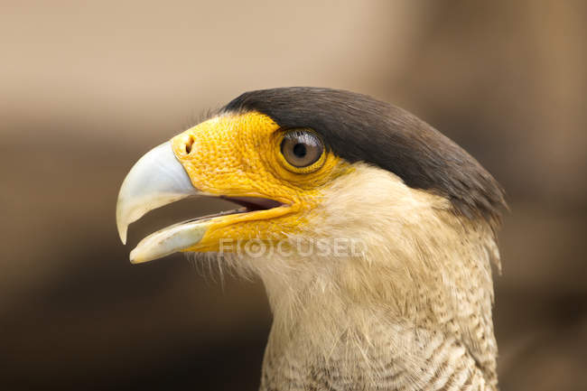 Southen Caracara beak closeup view against blurred background — стоковое фото