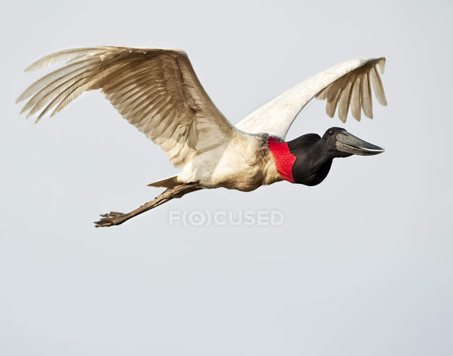 Jabiru Stork in flight at clear sky — стоковое фото