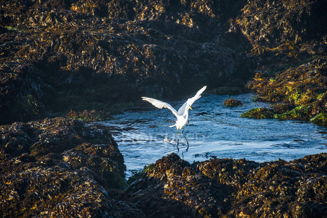 A beautiful Great Egret taking flight from pools of Laguna Point, Cleone, California, United — стокове фото
