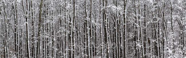 Forêt d'arbres enneigés, Sutton, Québec, Canada — Photo de stock