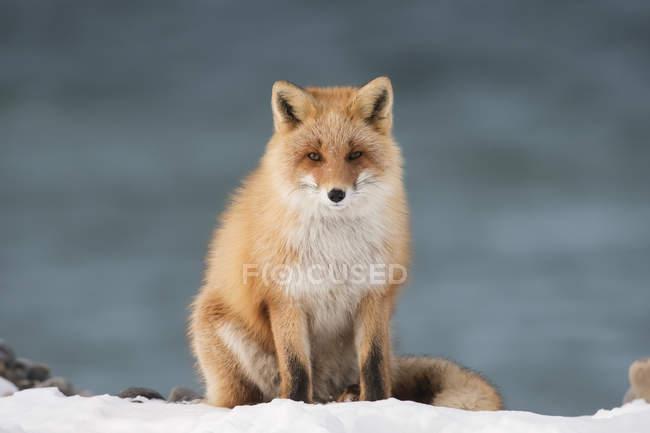 Hokkaido Fox (Vulpes vulpes); Токіо, Японія — стокове фото