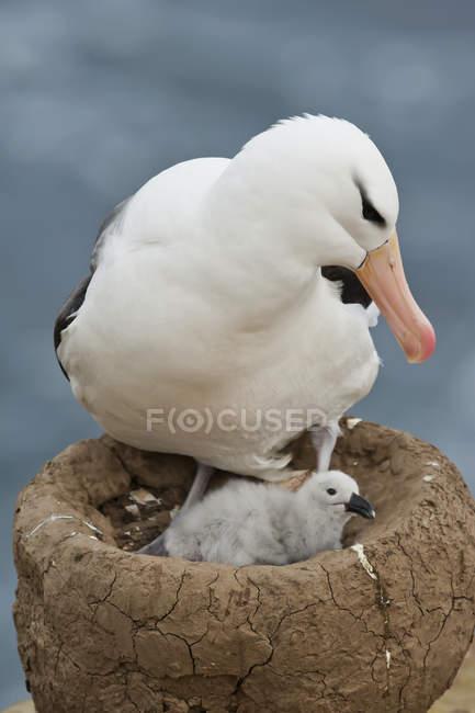 Schwarzbraune Albatros und Küken in einem Nest — Stockfoto