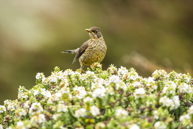 Bird with speckled plumage perched on blossoming plant — Foto stock