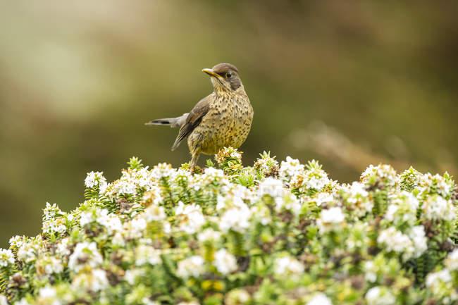 Uccello con piumaggio maculato arroccato su pianta in fiore — Foto stock