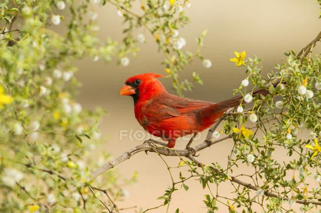 Північне кардинал на гілці дерева, розмитий фон — стокове фото