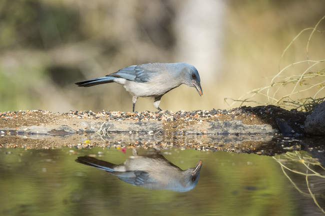 Mexican Jay  standing at the water edge with reflection — стокове фото