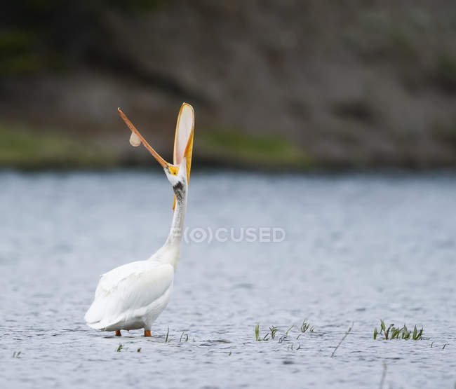 American white pelican standing in water and looking up with mouth wide open - foto de stock