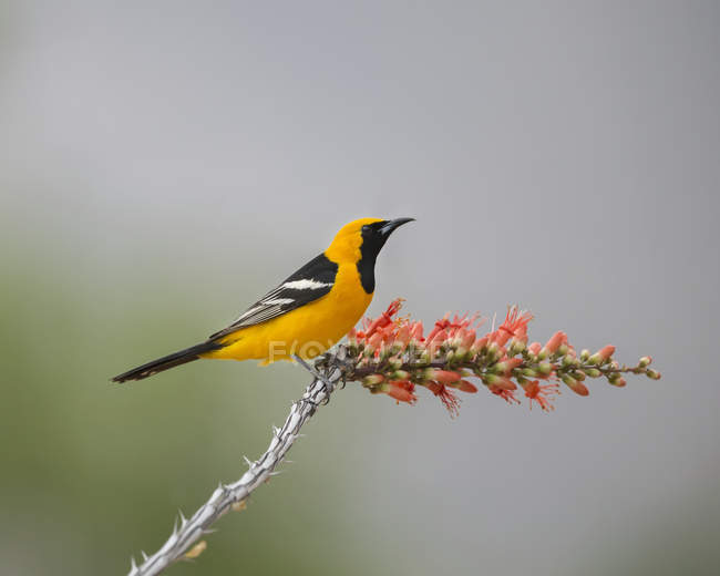 Male Hooded oriole perched on branch, blurred background - foto de stock