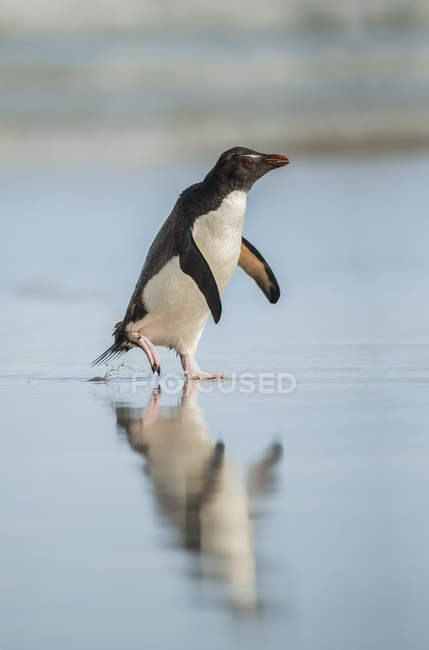 Gentoo penguin walking on a wet surface with reflection in the water — Stock Photo